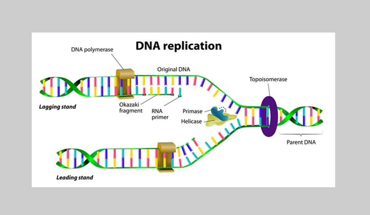 DNA replication image