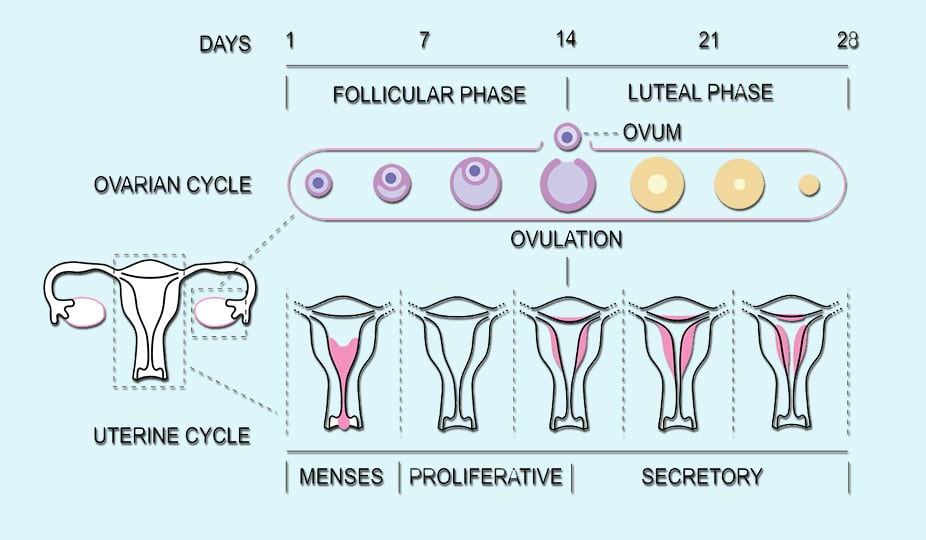 ovulation cycle of a woman